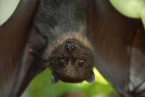 split-nosed-bat
