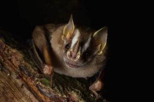 striped-yellow-eared-bat