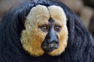 white-faced-saki