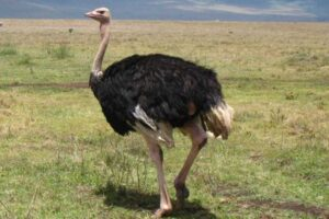 ostrich-biggest-and-fastest-land-bird