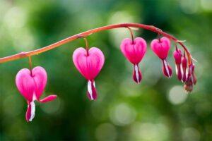 bleeding-heart