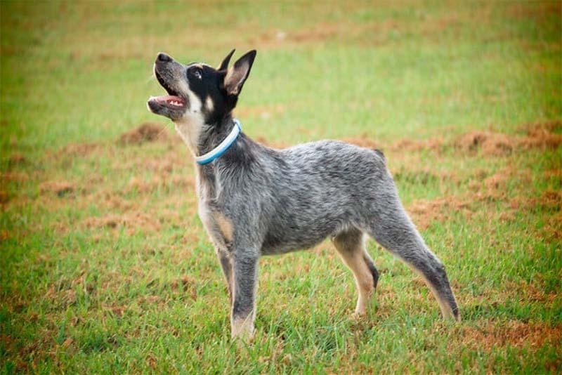 australian-cattle-dog-smartest-dog-breeds