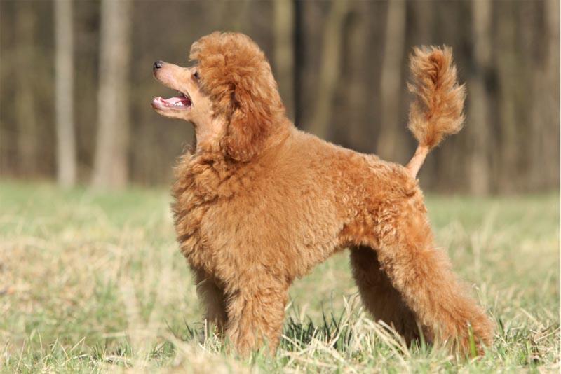 poodle-smartest-dog-breeds