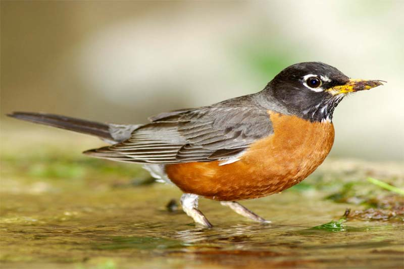 american-robin-shortest-lifespan