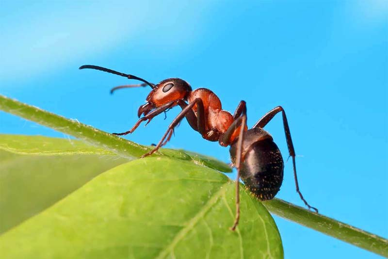 ant-shortest-lifespan