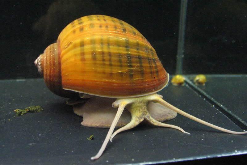apple-snail