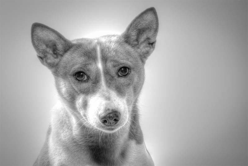 basenji-the-oldest-and-quietest-dog-in-the-world
