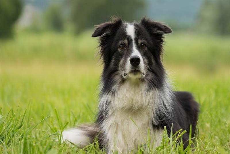 border-collie-smartest-dog-breeds