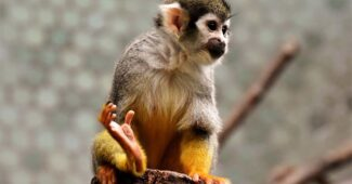 capuchin-monkeys-are-the-most-intelligent-breed