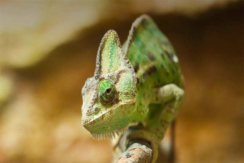 chameleon-shortest-lifespan
