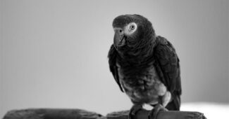 congo-grey-parrot-animals-with-good-hearing-power