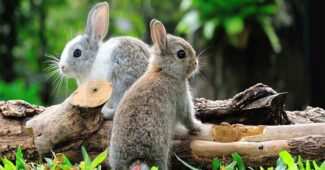 domestic-rabbit-shortest-lifespan