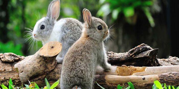 domestic-rabbit-shortest-lifespan