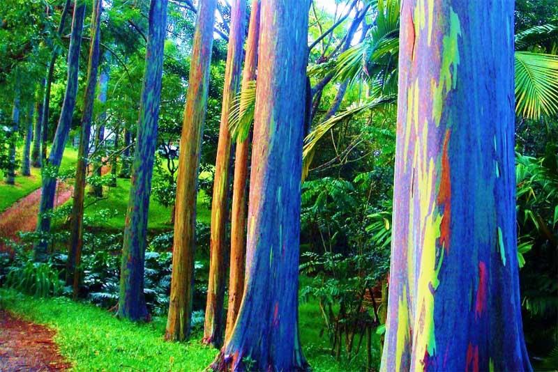 eucalyptus-deglupta-amazing-trees