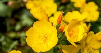 evening-primrose-fragrant-flowers