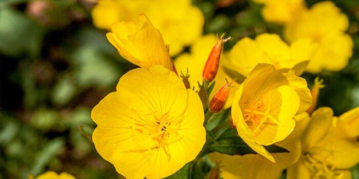 evening-primrose-fragrant-flowers