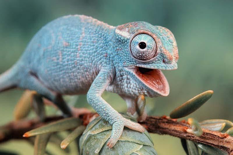 female-chameleons