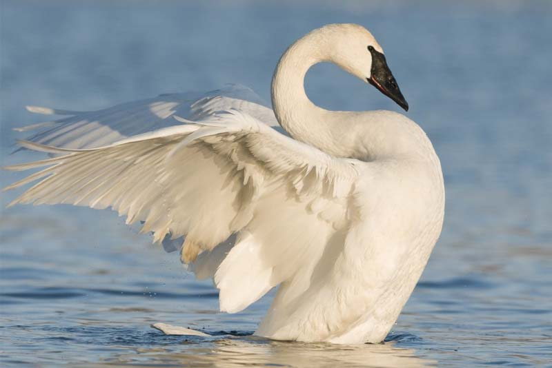 female-swan