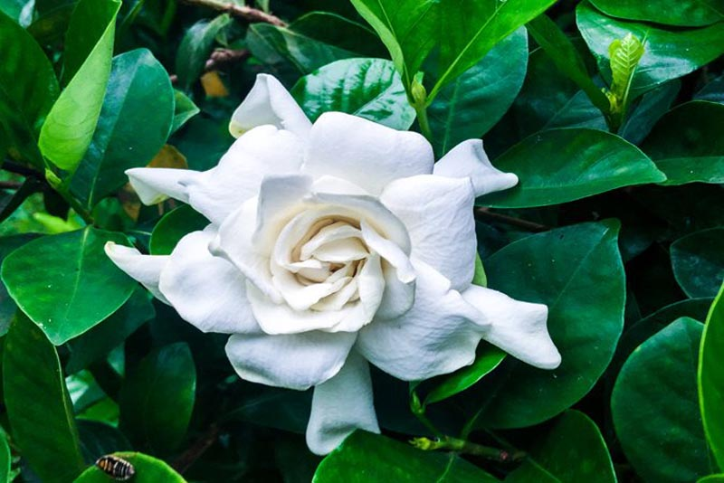 gardenia-fragrant-flowers