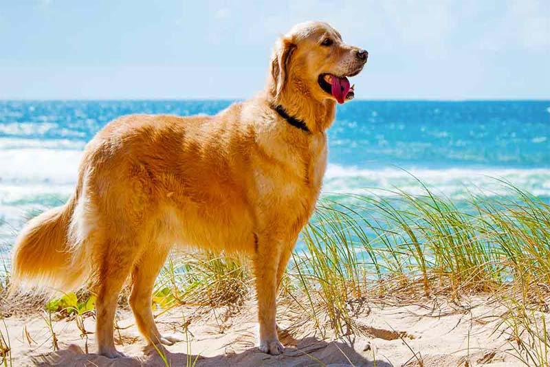 golden-retriever-smartest-dog-breeds