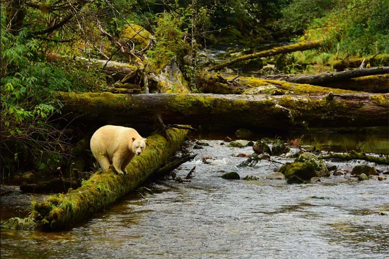 great-bear-rainforest