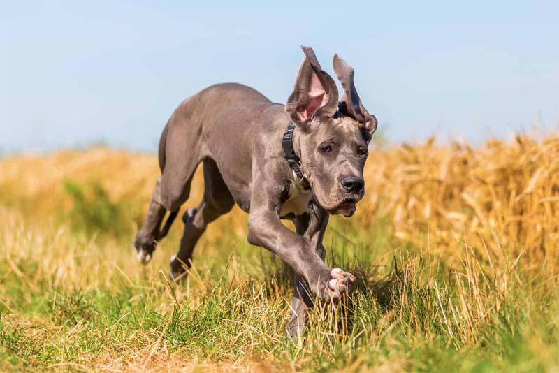 great-dane-smartest-dog-breeds