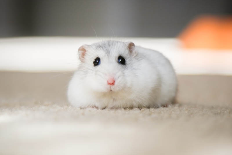 hamster-shortest-lifespan