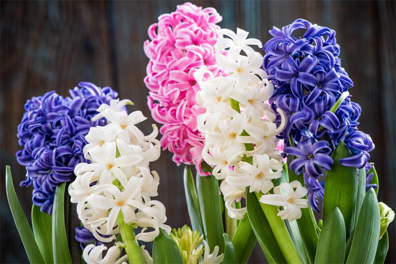 hyacinth-fragrant-flowers
