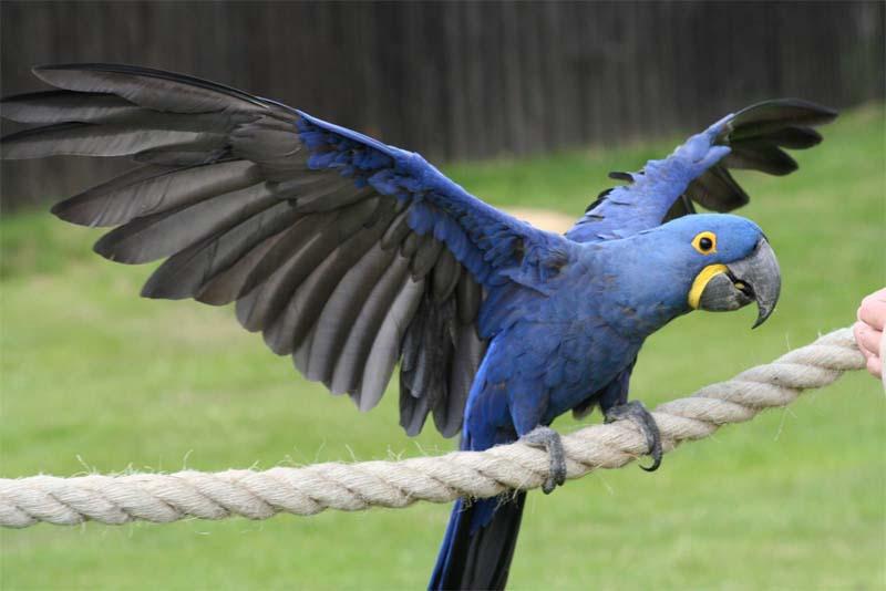 hyacinth-macaw-expensive-pets
