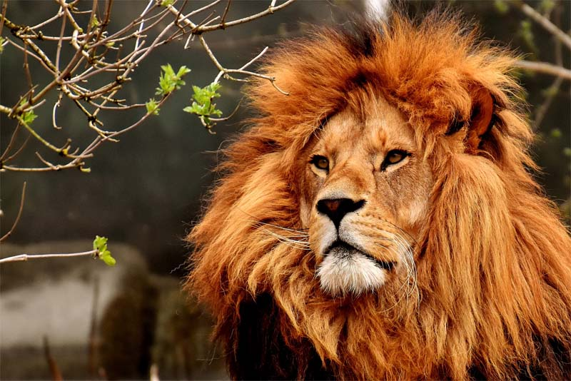 interesting-facts-about-lion