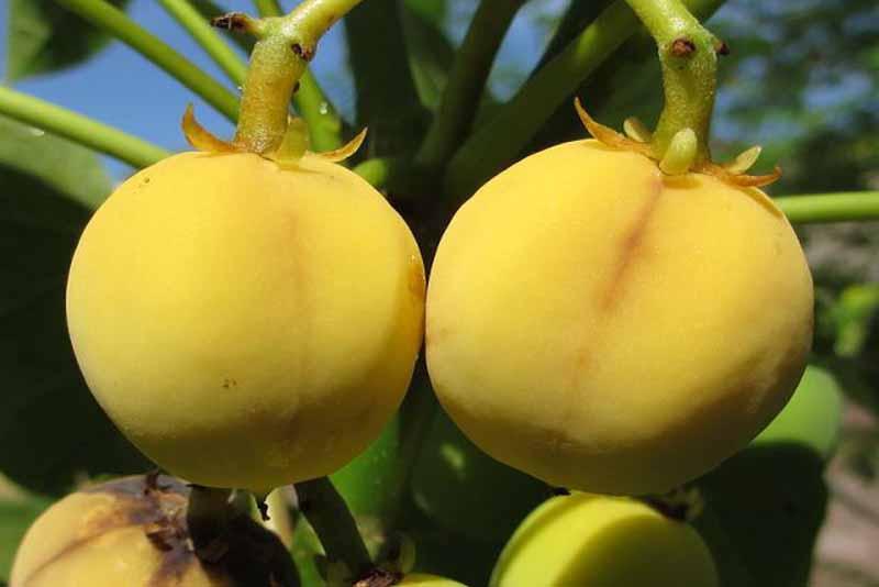 jatropha-deadly-fruits