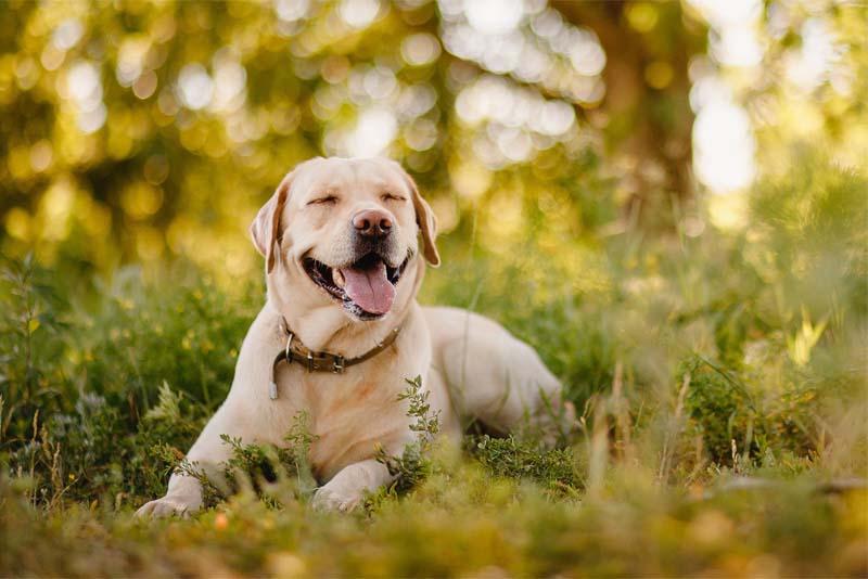 labrador retriever - smartest dog breeds