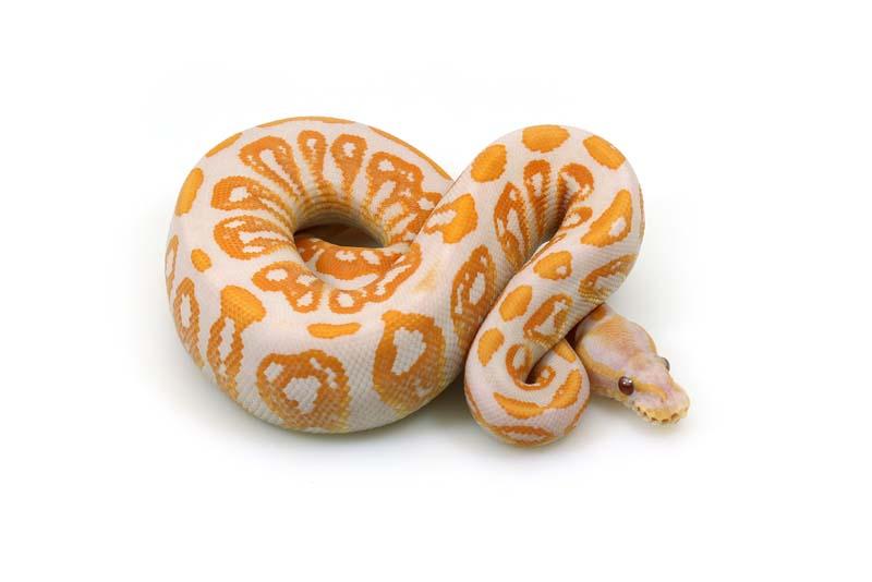 lavender-albino-ball-python-expensive-pets