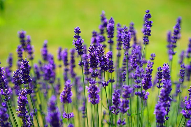 lavender-fragrant-flowers