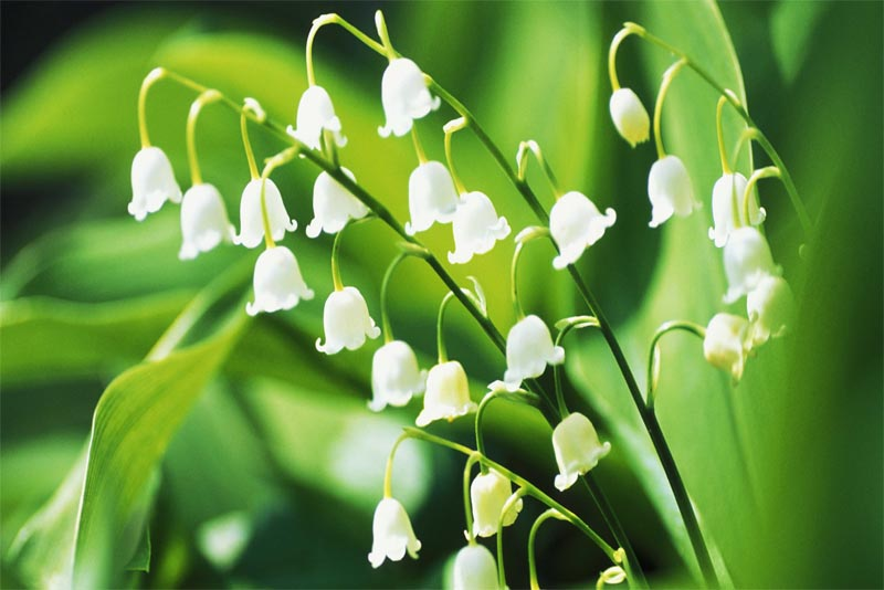 lily-of-the-valley-fragrant-flowers