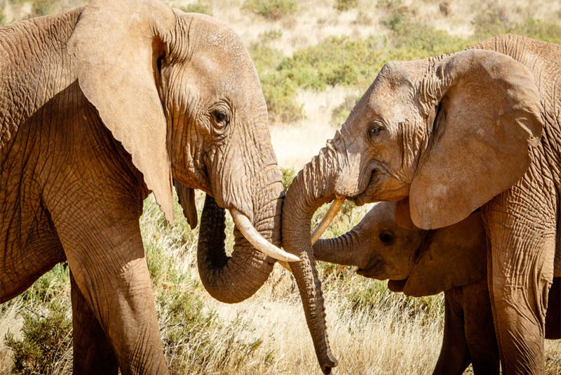 longest-lived-african-elephants