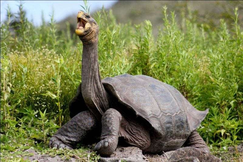 longest-lived-galapagos-giant-tortoise