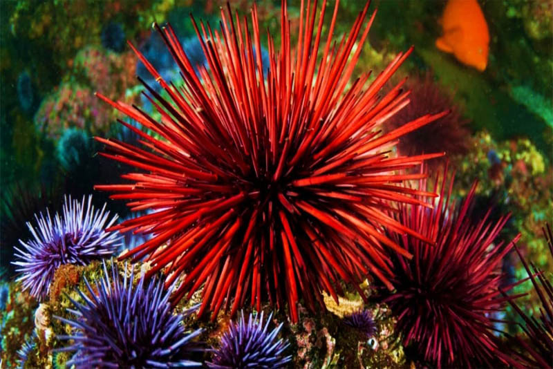 longest-lived-the-red-sea-urchins