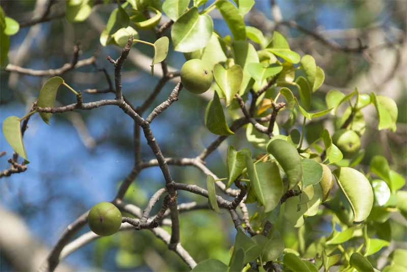manchineel-fruit-deadly-fruits