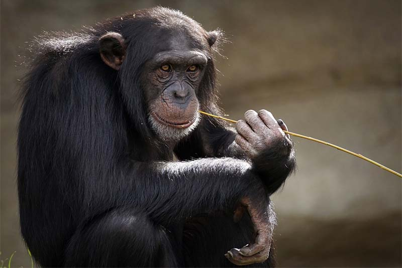 monkeys-life-span