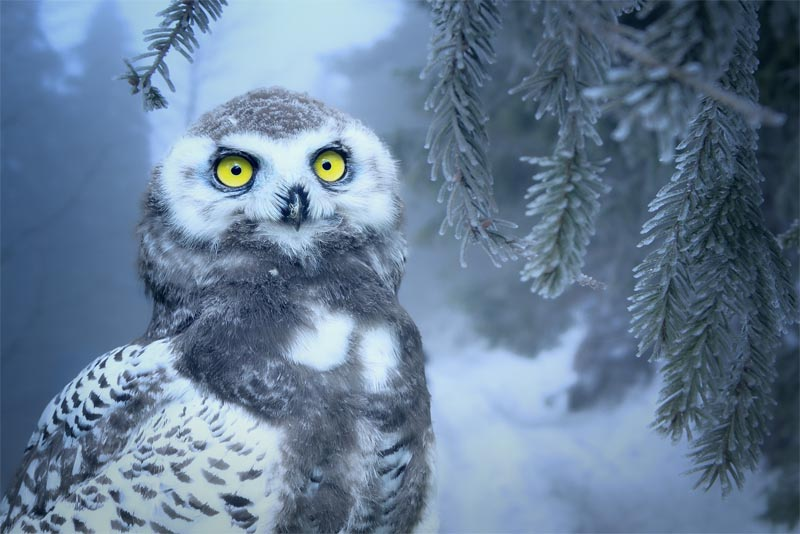 owl-animals-with-good-hearing-power
