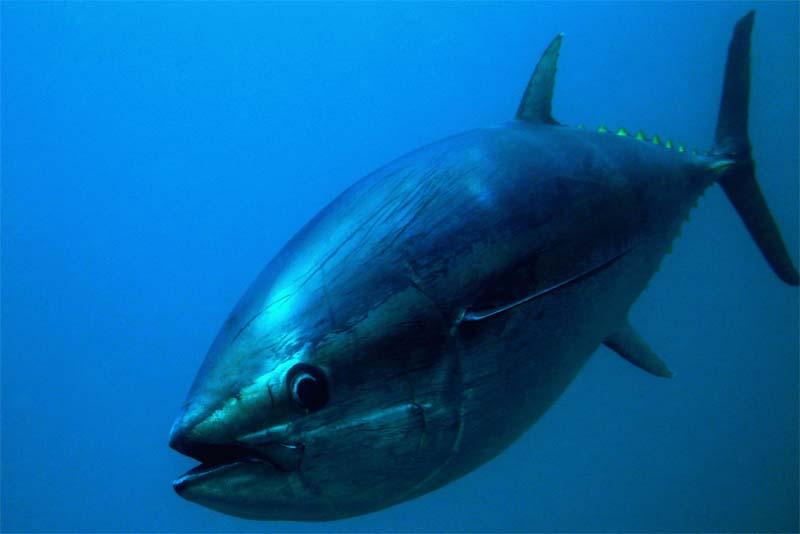 pacific-bluefin-tuna-expensive-pets