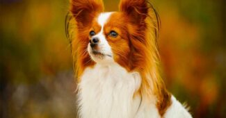 papillon-smartest-dog-breeds