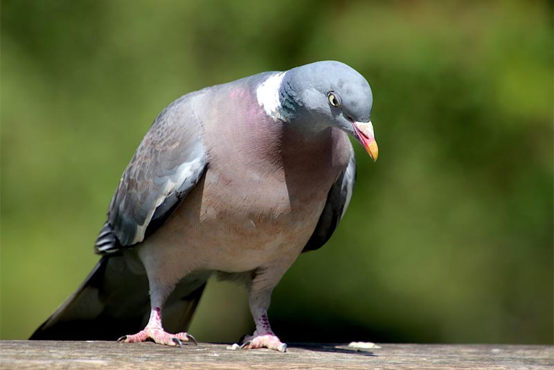 pigeon-animals-with-good-hearing-power