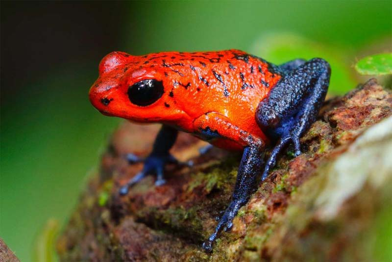 poison-dart-frog