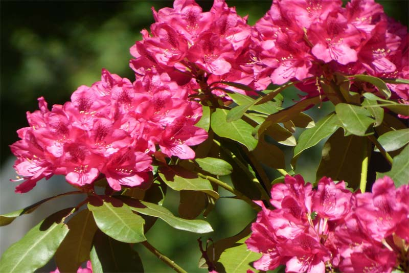 rhododendron-poisonous-plants