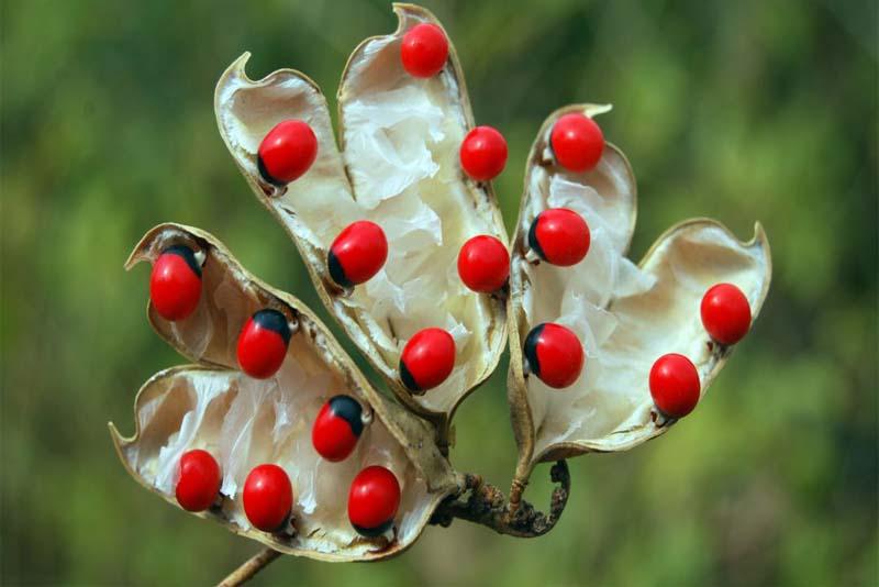 rosary-pea-poisonous-plants