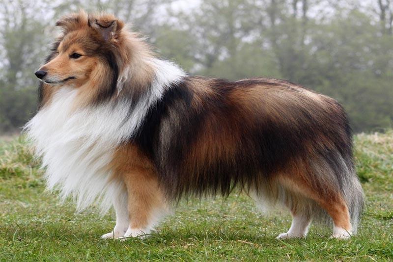 shetland-sheepdog-smartest-dog-breeds
