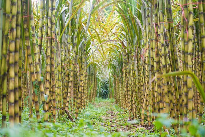 sugar-cane-deadly-fruits