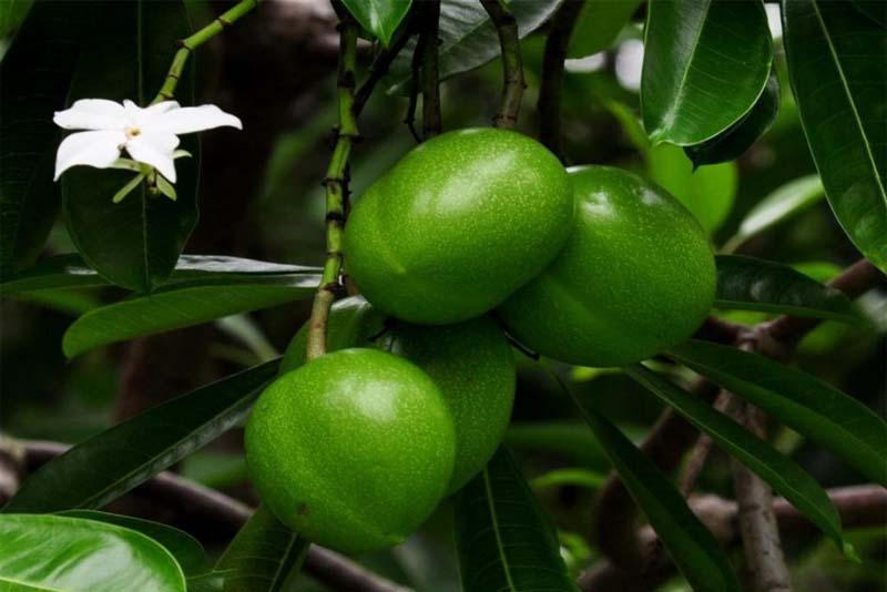 suicide-tree-cerbera-odollam-poisonous-plants